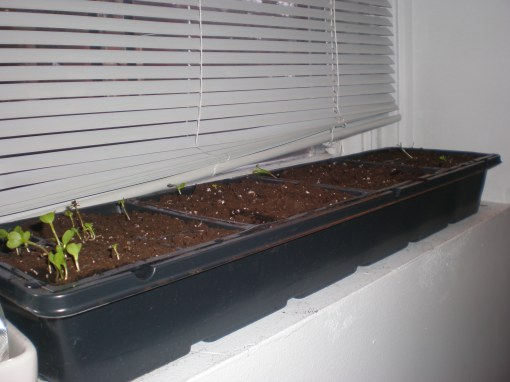 Lettuce seeds sprouting on the windowsill
