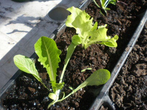 Lettuce thrives in the cool sunny spring weather